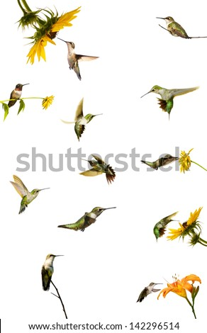 Collection of ruby throated hummingbirds at rest, and in motion, isolated on white.