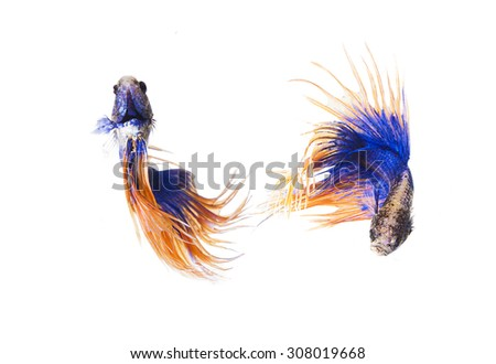 Collection of Siamese fighting fish, betta splendens, Crown Tail Betta   isolated on white background. - stock photo