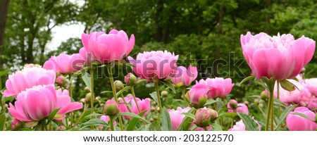 Collection of Suzette peonies on green background - stock photo