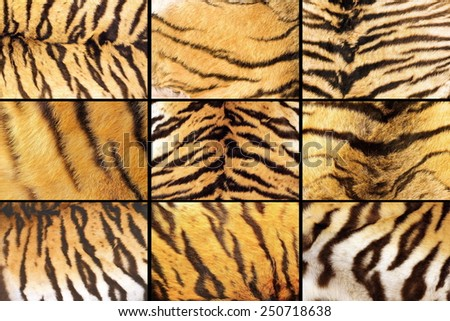 collection of tiger fur closeups, different details, images  taken on the ssame animal - stock photo