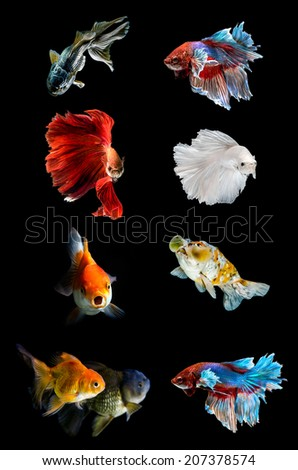 Collection of various  fish on black background,Fighting fish , Golden Fish - stock photo