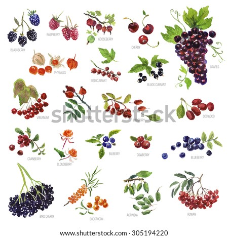 Collection of watercolor hand drawn berries on white background. Good for book illustration, magazine or journal article. - stock photo