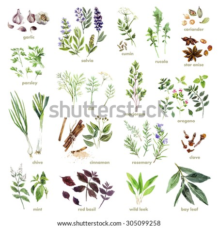 Collection of watercolor hand drawn herbs on white background. Good for book illustration, magazine or journal article. - stock photo