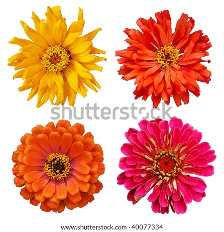 collection of Zinnia elegans flowers isolated on white background with clipping path