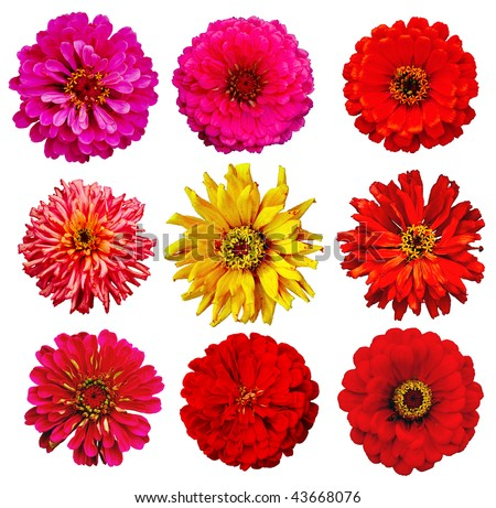 collection of Zinnia elegans flowers isolated on white with clipping path - stock photo