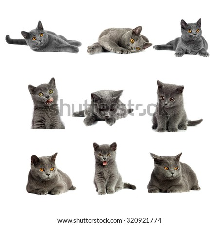 Collection or set of beautiful domestic gray or blue British short hair cat with yellow or golden  eyes  on white background - stock photo