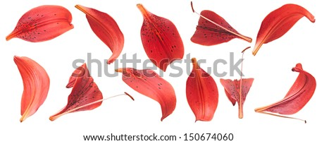 collection red lilies petals isolated on white  - stock photo