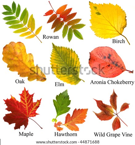 collection set of beautiful colored autumn leaves with name, close up , isolated on white background - stock photo