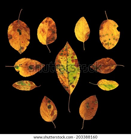 Collection set of eleven colorful autumn yellow, green and red natural looking leaves isolated on black background - stock photo