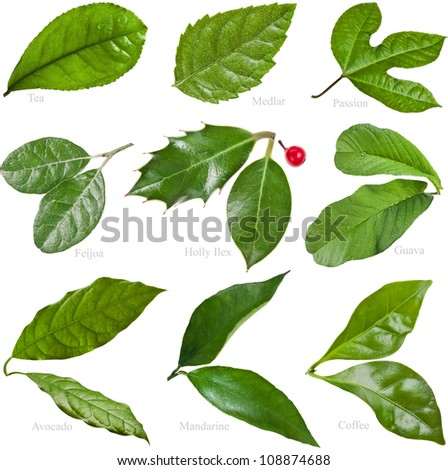 Collection set of Green Fresh Leaves of Fruit Tree closeup macro isolated on white background - stock photo