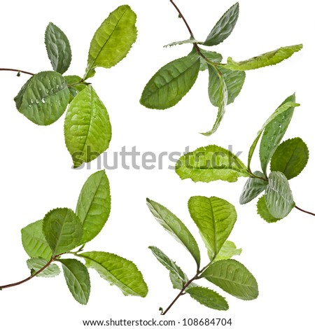 Collection set of Tea Leaves Plant isolated on a white background - stock photo