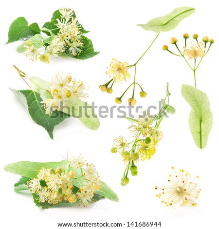 Collections of linden flowers isolated on white background - stock photo