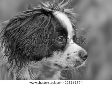 Collie Cross dog portrait - stock photo