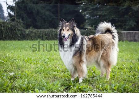 Collie dog - stock photo
