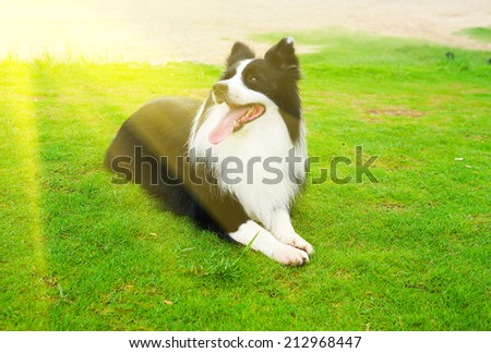 collie dog in nature