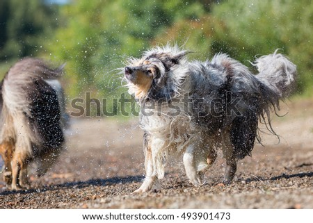 collie dog shakes the wet fur at the border of a lake