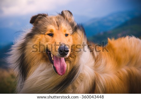 Collie Dog  The collie is a distinctive type of herding dog, including many related landraces and formal breeds. The breed originated in Scotland and Northern England