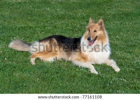 collie lying at rest on the grass