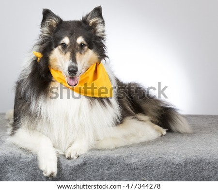 Collie portrait. The dog is wearing scarf. Image taken in a studio.