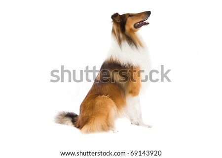 Collie sitting and looking away on isolated white - stock photo