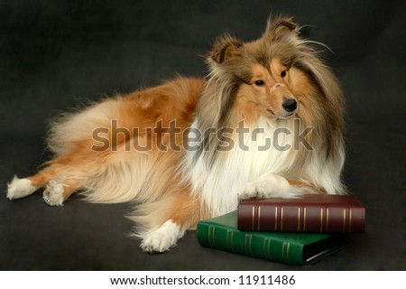Collie with books - stock photo