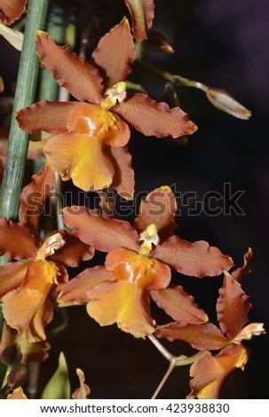 Colmanara (Oncistele) Catatante 'Pacific Sun Spots'cross between Oncidium Sphacetante and Oncostele Wildcat - stock photo