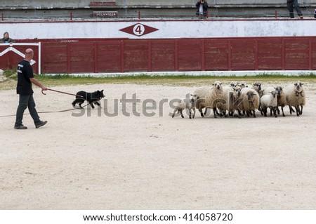 COLMENAR VIEJO - APRIL 25, 2015: Herding dog working sheep during a demonstration in Colmenar Viejo, Madrid, Spain on April 25, 2015. - stock photo