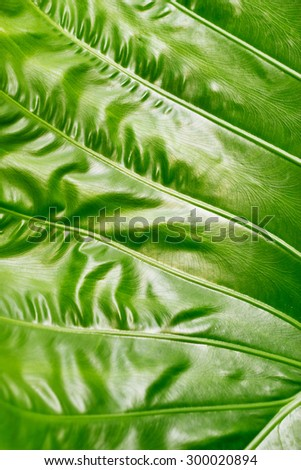 Colocasia texture, green leaf on nature background