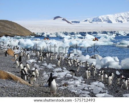 Colony of Adelie Penguins. In 'Brown Bluff', Antarctic Peninsula
