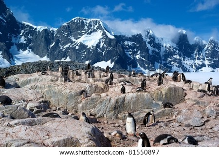 Colony of Gentoo Penguins in Port Lockroy, Antarctica - stock photo