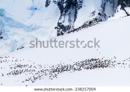 Colony of gentoo penguins on Antarctica - stock photo
