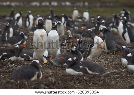Colony of Gentoo Penguins (Pygoscelis papua) on Saunders Island in the Falkland Islands.