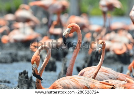 Colony of Great Flamingos.  Rio Maximo, Camaguey, Cuba.  - stock photo