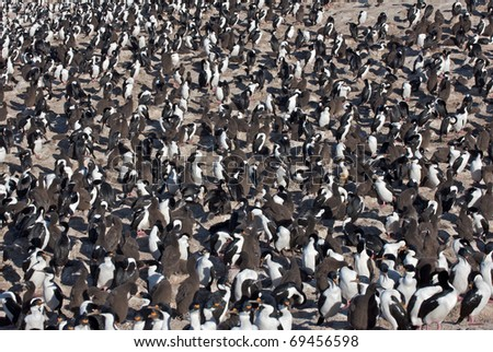 Colony of Imperial Cormorants congregating on a sandy beach. - stock photo