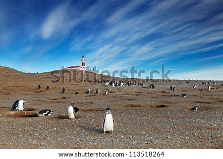 Colony of magellanic penguins on Magdalena island, Strait of Magellan, Chile - stock photo