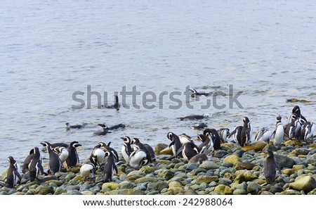 Colony of Magellanic Penguins on the Magdalena Island, Chile - stock photo