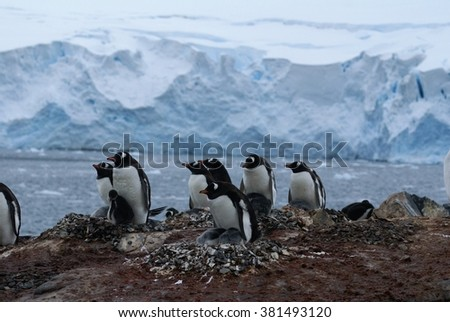 Colony of nesting Gentoo penguins on a hill, with a glacier in the background