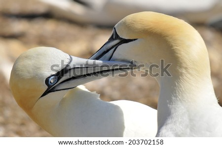Colony of Northern Gannets sunbathing off Bonaventure Island Quebec, Canada. The Northern Gannet (Morus bassanus) is a seabird and is the largest member of the gannet family, Sulidae - stock photo