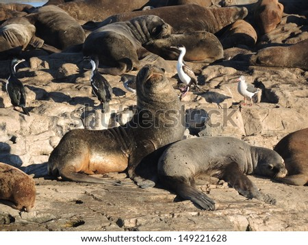 Colony of Patagonian sea lions in Ushuaia Bay - stock photo