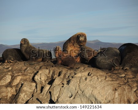 Colony of Patagonian sea lions in Ushuaia Bay, looking to the camera - stock photo