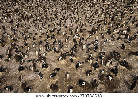 Colony of rockhopper penguins and imperial shags, Falkland islands - stock photo