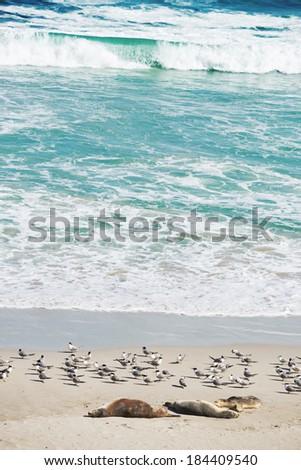 colony of  sea lions at Seal Bay, Kangaroo Island, South Australia  - stock photo