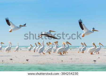 Colony of White Pelican Birds Florida's Wildlife