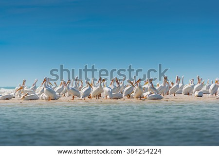 Colony of White Pelicans Birds of Florida USA  - stock photo