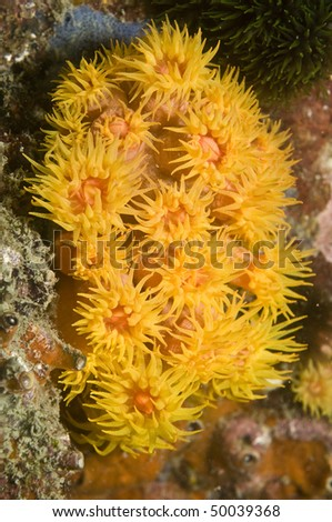 colony of yellow cup coral - stock photo