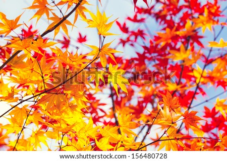 Color changing maple leave in autumn - stock photo