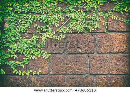 Color classic of Ivy leaves on the brick wall texture