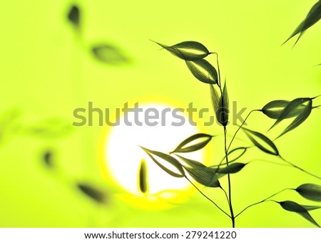 Color effect image of oats at sunrise - stock photo