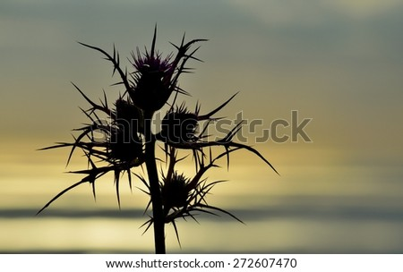 Color effect image of wild thistle at dawn - stock photo