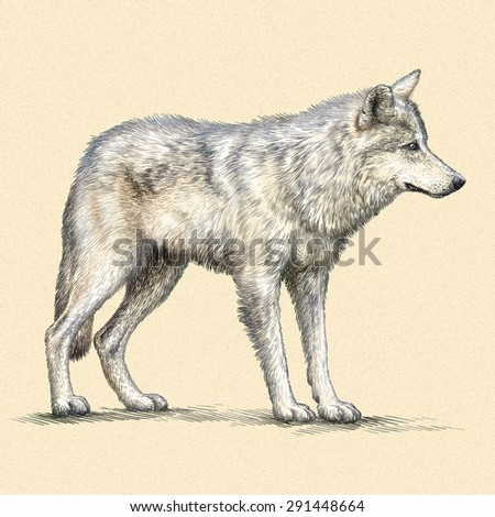 color engrave isolated wolf